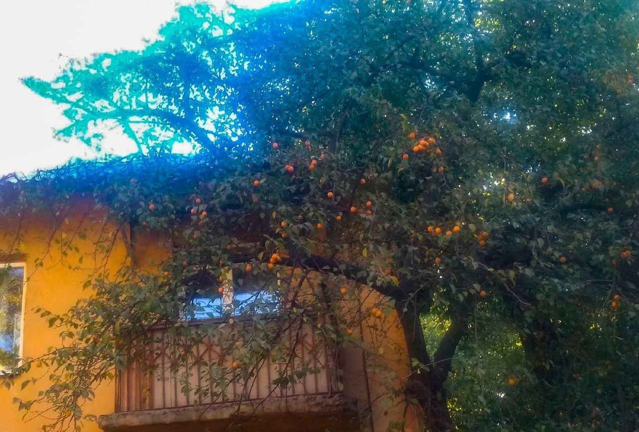 В Донецке в конце октября созрели абрикосы, - ФОТО, фото-1